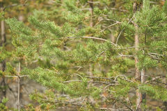 Pine branches background Royalty Free Stock Photo