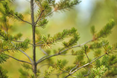 Pine branches background Stock Images