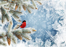 Pine branches with bird on a blue background with a frosty pattern. Bullfinch and pine branches on blue snowy background Royalty Free Stock Image