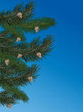 Pine branches on blue background Stock Photos