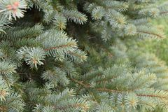 Pine branches from a blue spruce royalty free stock photos