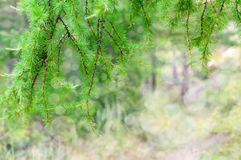 Pine branches with bokeh. Green pine branches with bokeh Royalty Free Stock Image
