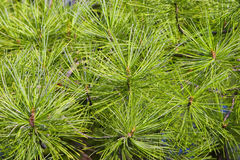 Pine branches with bright green needles Royalty Free Stock Photo