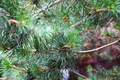 Pine branches close Royalty Free Stock Photos