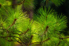 Pine branches. Close up and colorful Royalty Free Stock Photography