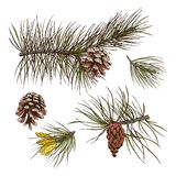 Pine branches colored print. Pine fir cedar spruce forest branches with cones isolated design elements vector illustration Stock Images
