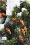Pine branches with cones Stock Photo