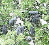 Pine branches with cones Background Royalty Free Stock Photo