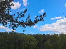 Pine branches with cones on a background of sky Royalty Free Stock Photography