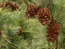 Pine branches with cones Royalty Free Stock Photo