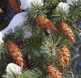 Pine branches with cones closeup Royalty Free Stock Images