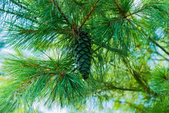 Pine branches with cones Stock Photos