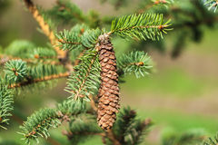 Pine branches with cones Stock Photography
