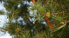 Pine branches with cones in detail stock video