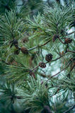 Pine branches with cones and frost Stock Photo