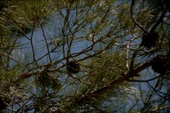 Pine branches with cones royalty free stock photography