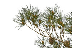 Pine branches with cones isolated on white Royalty Free Stock Image