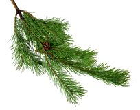 Pine branches with cones. Isolated on white without shadow. close-up. Green branches of pine. Christmas. New Year. Nature in detai. Celebratory lights on the old stock photography