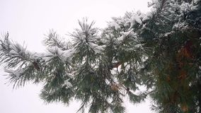 Pine branches with cones nestled snow swinging in the wind coniferous winter forest snowfall in the woods. stock video footage