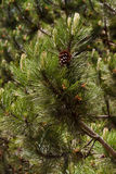 Pine branches and cones Royalty Free Stock Image