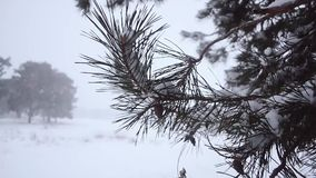 Pine branches with cones sprinkled with snow swinging in wind, snow in forest, snow storm in pine forest. stock video footage