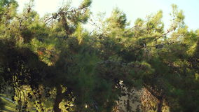 Pine branches with cones swaying in summer day stock video footage