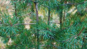 Pine branches with cones swaying in the wind. Close-up.Young green branches from a pine or a fir tree waving in the wind stock video