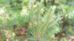 Pine branches with cones swaying in the wind. Close-up.Young green branches from a pine or a fir tree waving in the wind. In the forest on a summer day stock video