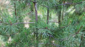 Pine branches with cones swaying in the wind. Close-up.Young green branches from a pine or a fir tree waving in the wind. In the forest on a summer day stock video footage