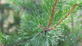 Pine branches with cones swaying in the wind. Close-up.Young green branches from a pine or a fir tree waving in the wind. In the forest on a summer day stock footage