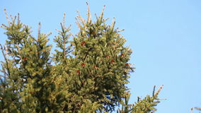 Pine branches with cones swaying on the wind stock video