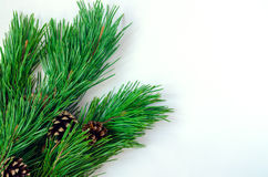 Pine branches with cones on a white background Royalty Free Stock Photo