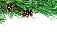 Pine branches with cones on a white background Stock Image
