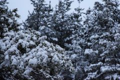 Pine branches. Covered with first snow royalty free stock image