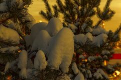 Pine branches covered with fluffy snow in the evening city