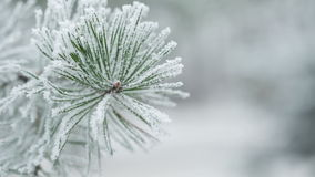 Pine branches covered with hoar frost shoot, pan movement stock video footage