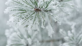 Pine branches covered with hoar frost shoot, pan movement stock footage