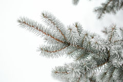 Pine branches covered Royalty Free Stock Image
