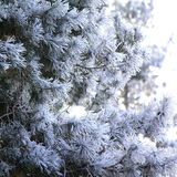 Pine branches covered with hoarfrost Stock Photo