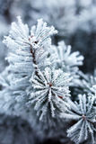 Pine branches covered with hoarfrost Royalty Free Stock Images