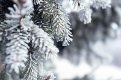 Pine branches covered with hoarfrost crystals.  Stock Images