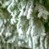Pine branches covered with hoarfrost Royalty Free Stock Image