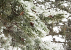 Pine branches covered with ice Stock Image