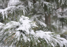 Pine branches covered with snow. Evergreen pine branches covered with snow Stock Photos
