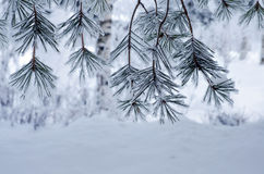 Pine branches covered with snow and frost Stock Images