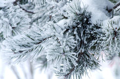 Pine branches covered with snow and frost Royalty Free Stock Photo