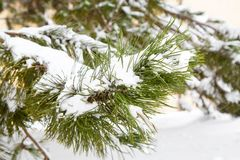 Pine branches covered with snow Royalty Free Stock Photography