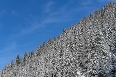 Pine branches covered by snow in mountain Royalty Free Stock Photo