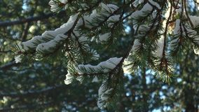 Pine branches covered with snow, swaying in the breeze Sunny day. Snow-covered pine branches swaying in a light the wind in the pine forest, the melted snow stock video footage