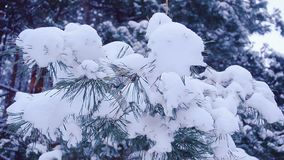 Pine branches covered with white snow on background of a winter forest, close-up stock video